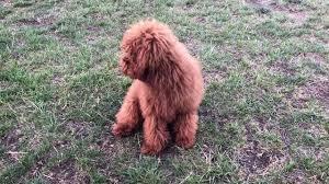 view ad poodle toy puppy near california san jose usa adn 90883