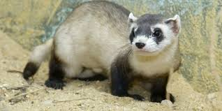 Black Footed Ferret Update Smithsonians National Zoo