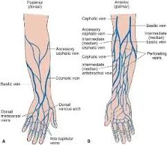 Vein Chart For Shooting Up Where Can I Find Veins To Shoot Dope Quora