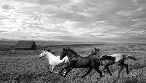 running horses black and white.  White White Horses Photograph  Free Range Running By Steve McKinzie To Black And O