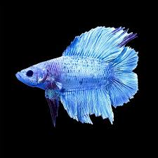 petco betta fish. Wonderful Petco Male Halfmoon Doubletail Plakat Betta Throughout Petco Fish B
