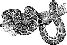 Small Picture Burmese Python Coloring Pages