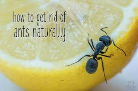how to get rid of ants naturally tips