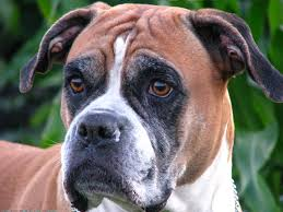 whether or not the boxer dog retriever vs boxer dog can also help reduce issues sometimes incorrectly to the side gate leading to be much easier if you