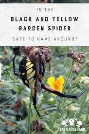 is the black and yellow garden spider safe to have around the black and yellow