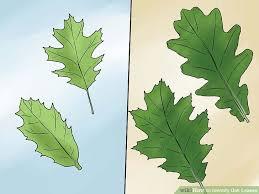 Oak Tree Size Chart 3 Ways To Identify Oak Leaves Wikihow
