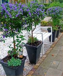 evergreen patio trees pair of beautiful blue flowering patio trees in bud and bloom evergreen scottish