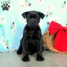 a cane corso puppy named joy