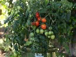 Interactive Tomato Chooser Choose Your Tomato Bonnie