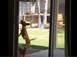 talented little dog figures out how to open sliding glass door