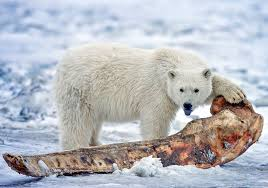 grolar bear size pizzly bears are appearing in the rapidly warming arctic eco