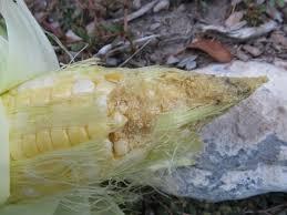 Corn Earworm Control Corn Earworm Intermountain Vegetable Usu