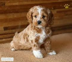 cute puppies for sale 2014. Perfect Sale Cockapoo Puppy For Sale Free Puppies For Sale Puppys Poodle  On Cute 2014 R