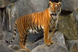 images of tigers.  Tigers Indochinese Tiger Inside Images Of Tigers