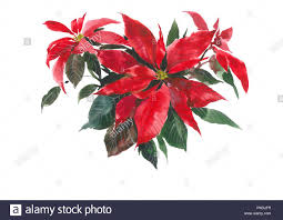 Die Blume Von Weihnachten Rote Blume Der Weihnachtsstern