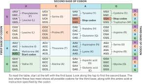 Dna Sequence Chart Central Dogma Of Biology Course Hero