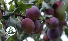 Best 25 Japanese Plum Tree Ideas On Pinterest  Cherry Blossom Plum Fruit Tree Varieties
