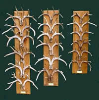 Deer Antler Age Chart Role Of Genetics In Antler Development