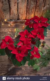 Poinsettia Christmas Tree Lights Uk Christmas Red Poinsettia Potted In Wooden Background With