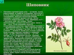 Реферат Шиповник коричный шиповник майский tat school ru Шиповник рассказ по биологии