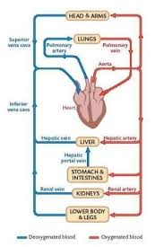 Provide Flow Chart Of Human Circulatory System Brainly In