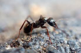 Ant Fly Patterns Gorgeous Simple Black Ant Fly Terrestrial Fly Pattern YouTube
