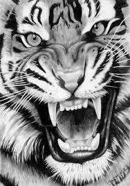 tiger face growling drawing. Brilliant Drawing Roaring Tiger  Graphite Drawing By JasminaSusakdeviantartcom On  DeviantArt And Face Growling R