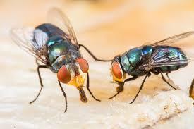 Lästige Fliegen Wirksam Vertreiben Und Bekämpfen