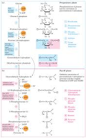 Atp Chart Glycolysis Steps Pathway Cycle A Level Biology Revision