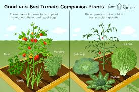 Companion Planting Garden Design Best And Worst Companion Plants For Tomatoes