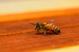 Bee Behaviour Chart Honey Bee Wikipedia