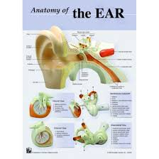 Anatomy Of The Ear Chart