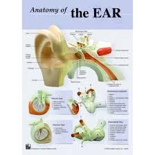 Anatomy Of The Ear Chart