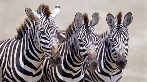 Hd wallpaper zebra download