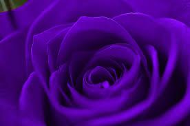 purple rose wallpaper download. Perfect Rose Purple Rose Throughout Wallpaper Download R
