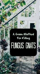Small Gnats In Kitchen 17 Best Ideas About Killing Gnats On Pinterest Killing House