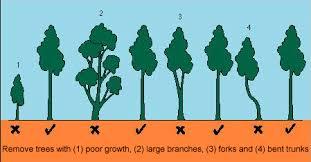 Douglas Fir Growth Chart Thinning Trees Douglas Fir In The Big Six Garden