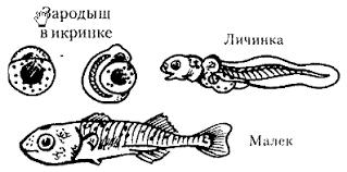 Класс костные рыбы Развитие речного окуня