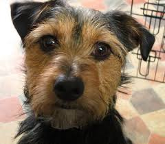 jack russell terrier mixed breeds. Yorkshire Terrier Jack Russell Intended Mixed Breeds