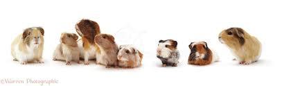 guinea pig family white background