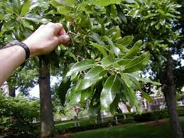 Growing Peaches On A Backyard Tree Isnu0027t As Tough As It Seems Red Leaf Fruit Tree