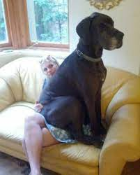 14 perros enormes que se creen cachorritos!! - TKM Argentina