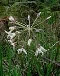 Flora of Zimbabwe: Genus page: Pelargonium