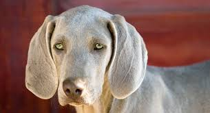 Dogs With Green Eyes Which Dog Breeds Have Green Eyes