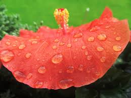 however the filtered light of a home is typically too weak to stimulate any growth the hibiscus may ren some of its foliage but it will not blossom