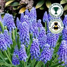garden bulbs. Muscari Armeniacum Blue Grape Hyacinth Spring Flowering Garden Bulbs Plants