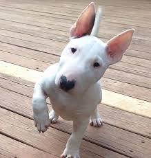 miniature bull terrier white.  Terrier Best 12 Pictures Of Bull Terriers This Year  Inside Dogs World  We Donu0027t  Talk Anymore  Mais For Miniature Terrier White E