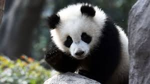 Quotes About Pandas Adorable Panda Study This Is Why They're Black And White Time