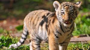 how long does it take for a baby tiger to form in the womb reference