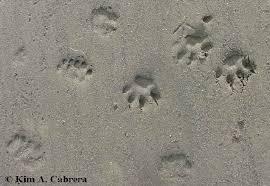 canine vs feline tracks how to tell